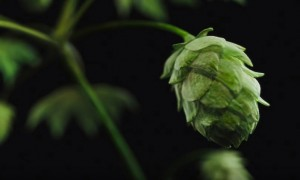 The Red Hops Experiment